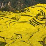 21 Mustard fields in Yunnan province, China
