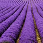 40 Lavender fields in France