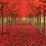Maple Tunnel in St Louis Oregon, USA