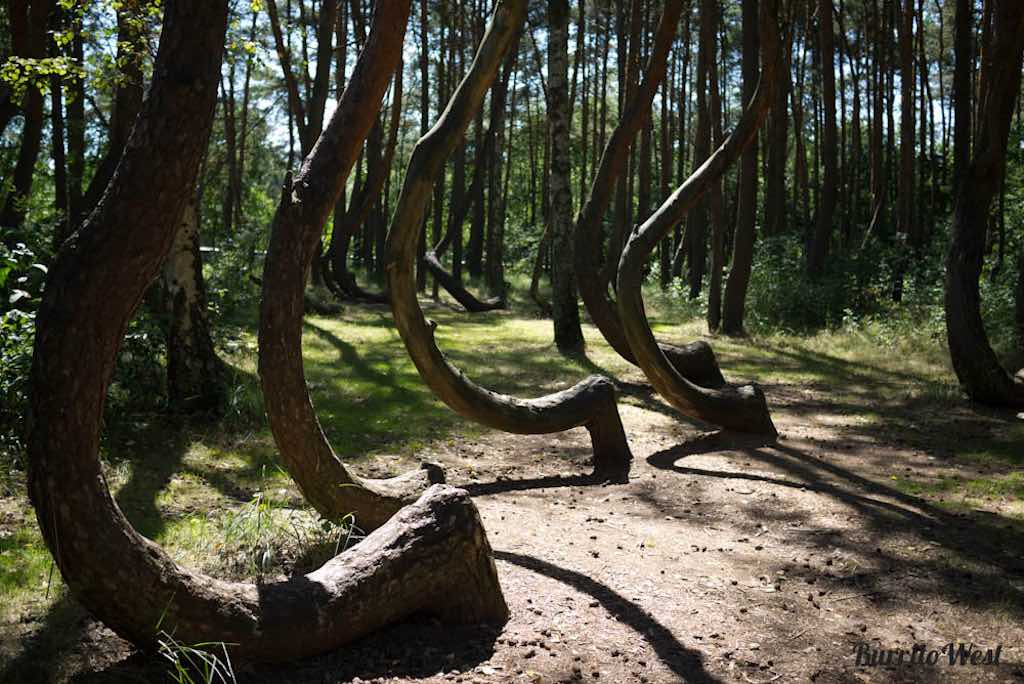 Crooked Forest, Poland - by Lisa - Beach650:Flickr