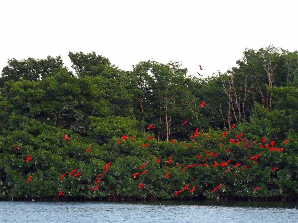 Caroni Bird Sanctuary, Trinidad - by Mandy - amanderson2:Flickr