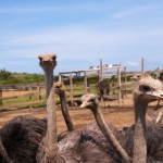 Ostrich Farm, Curaçao - by Calvin Lee - clee130:Flickr