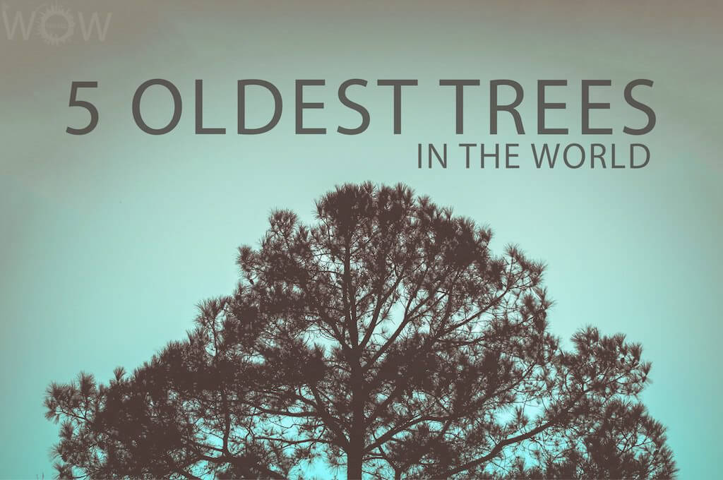 5 Oldest Trees In The World