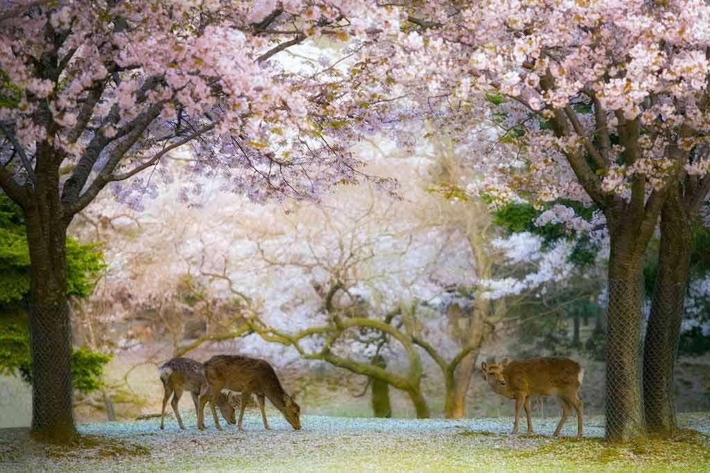 Nara Park - by By Katsina / Shutterstock.com