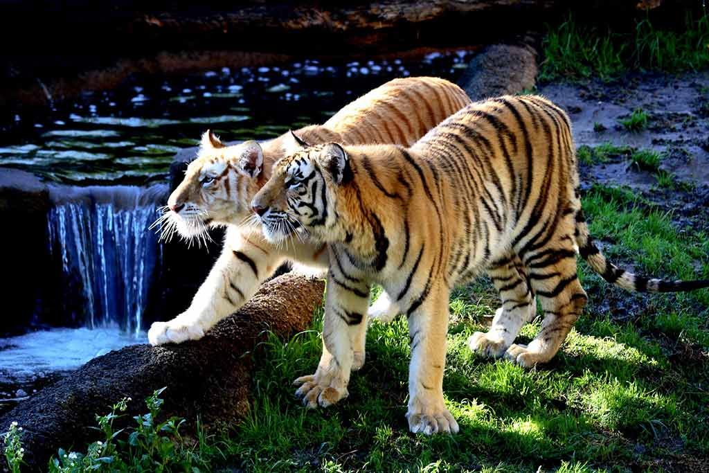 Tigers in Memphis Zoo, by Frank / Flickr.com