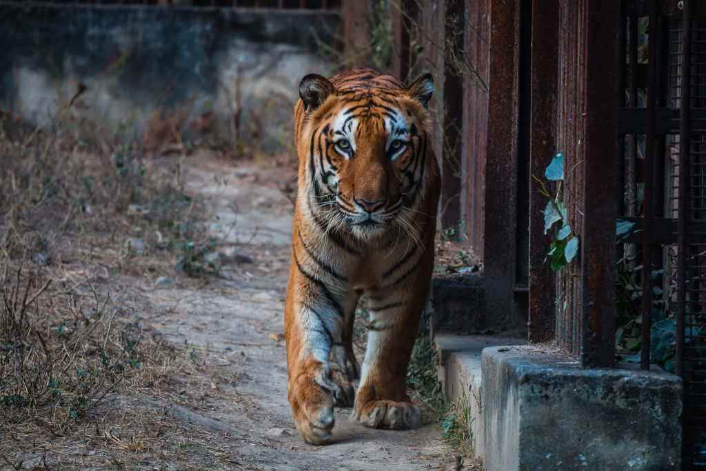 Bengal Tiger at National Zoological Park Delhi_tscreations/Shutterstock