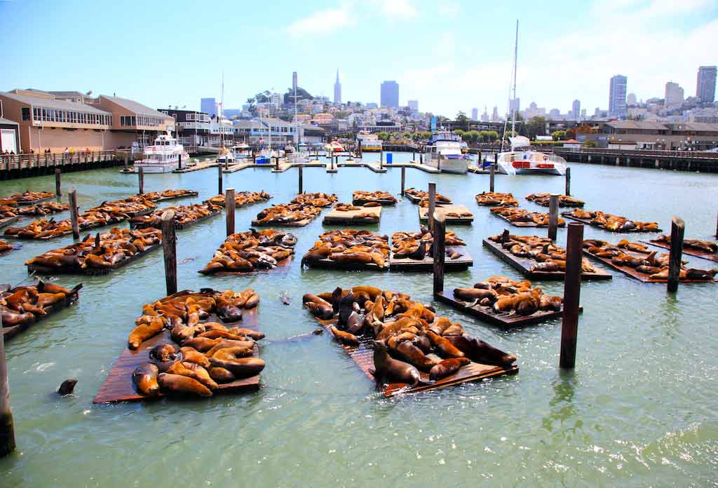 Sea lions at the Pier 39 in San Francisco Bay are attractions in USA for tourists
