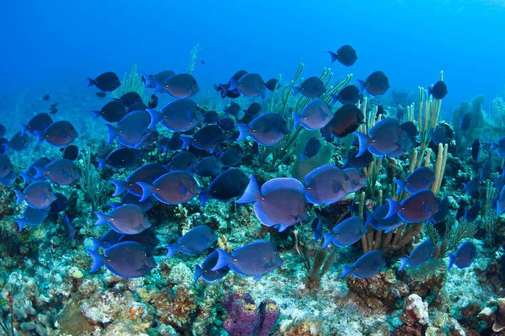 A school of Blue tang (Acanthurus coeruleus) swims over a coral reef in Grand Cayman
