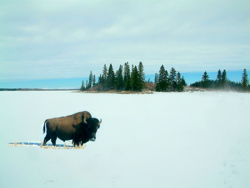 Bison in the winter in Elk Island National Park, Canada