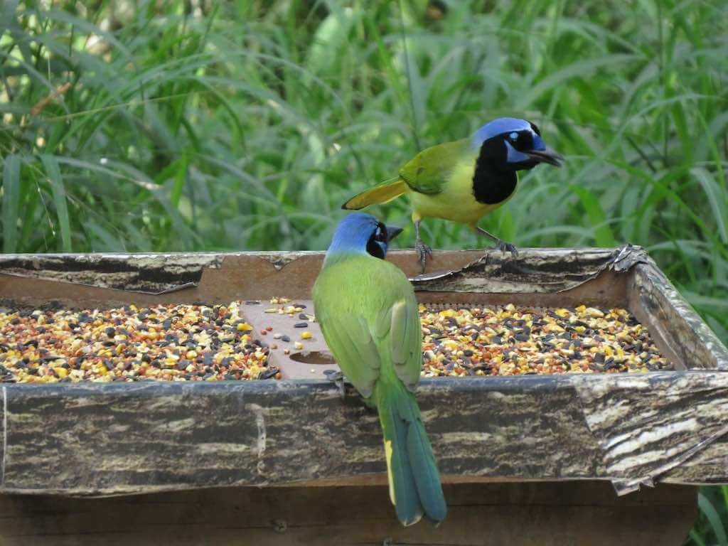Green jays eating in Bentsen-Rio Grande Valley State Park, Texas - by Lisa Waterman Gray / Shutterstock.com